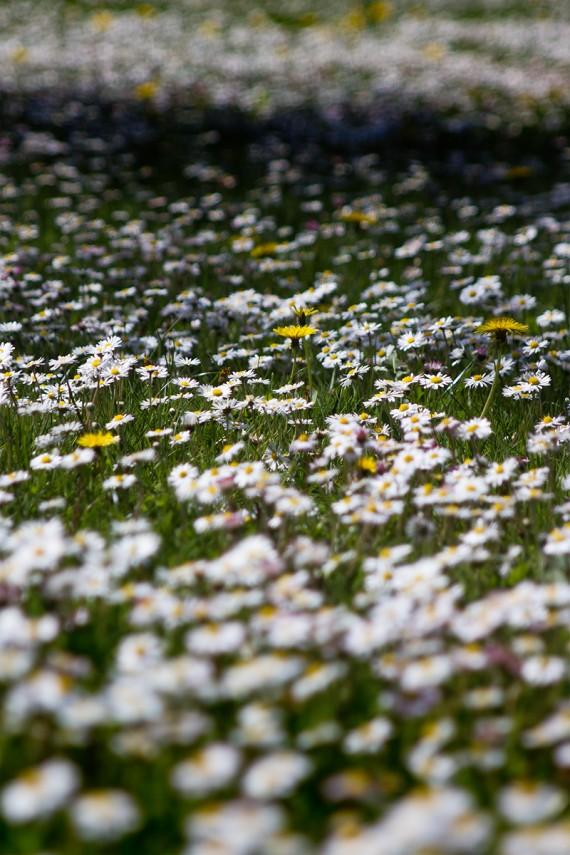 Gänseblümchenmeer