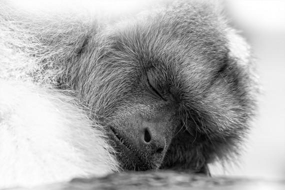 Affe im Tiefschlaf