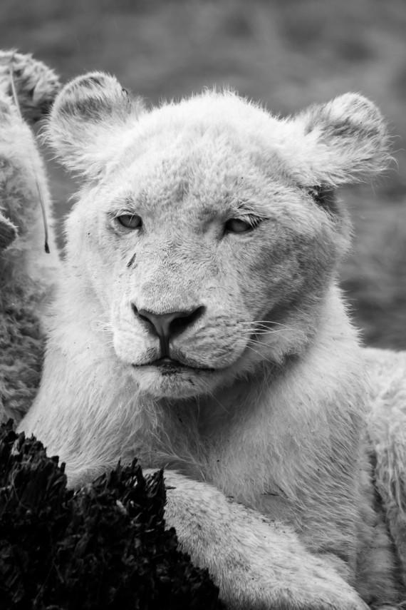 Weißer Löwe im Regen