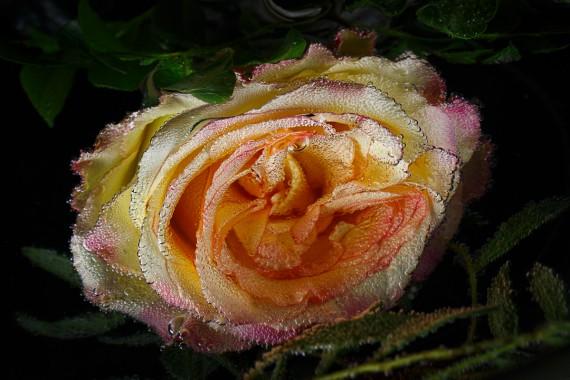 Rosenbläschen