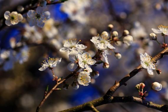 Kirschblüten in der Abendsonne